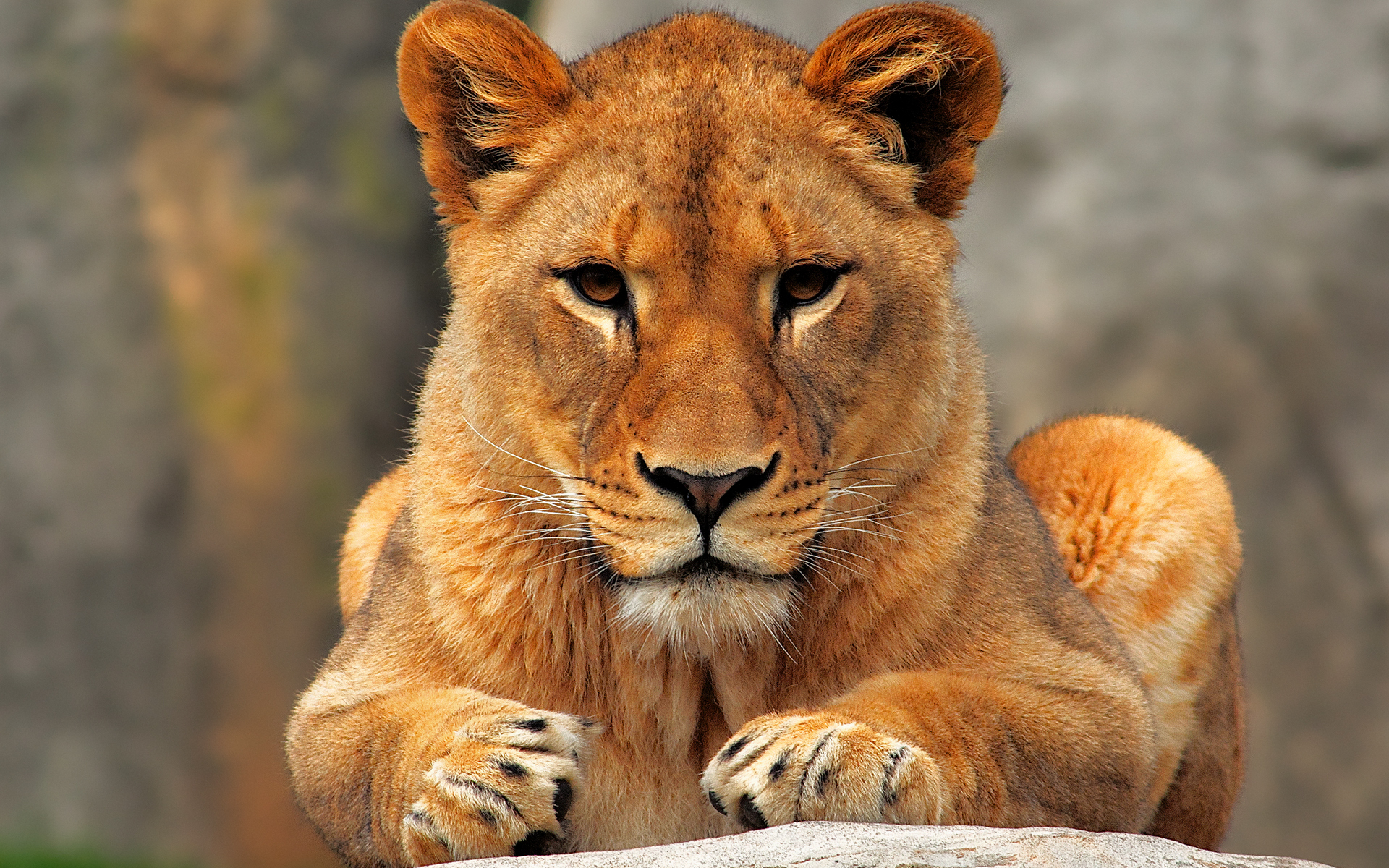 Must see   Wallpaper Horse Girly - lioness-1  Gallery_553751.jpg